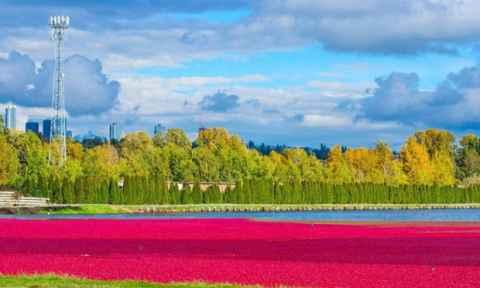 Canada tuyệt đẹp mùa thu hoạch việt quất tại Richmond